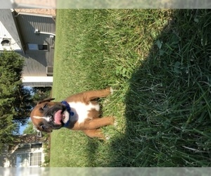 Boxer Puppy for sale in INDIANAPOLIS, IN, USA