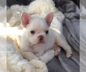 French Bulldog Puppy for sale in PASADENA, CA, USA