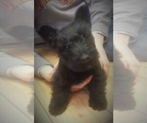 Scottish Terrier Puppy for Sale in TERREBONNE, Oregon USA