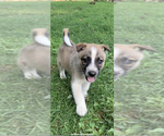 Small #2 German Shepherd Dog-Siberian Husky Mix