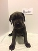Cane Corso Puppy For Sale in AKRON, OH,