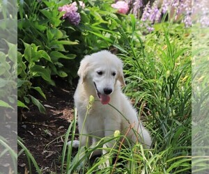 Golden Retriever Puppy for Sale in GAP, Pennsylvania USA