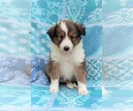 Shetland Sheepdog Puppy For Sale near 17601, Lancaster, PA, USA