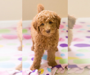 Goldendoodle Puppy for sale in BAY VIEW, WI, USA