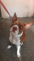 Athena - Pit Bull Terrier Dog For Adoption