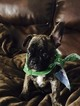 French Bulldog Puppy For Sale in WARRENVILLE, IL,