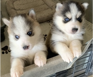 Pomsky Puppy for Sale in LACONA, Iowa USA