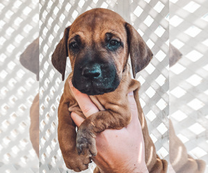 Rhodesian Ridgeback Dogs for adoption in OAK GLEN, CA, USA