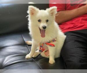 Pomeranian Puppy for sale in BOSTON, MA, USA