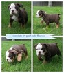 English Bulldogge Puppy For Sale in WALDORF, MD, USA