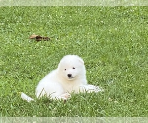 Samoyed Puppy for sale in WARFORDSBURG, PA, USA