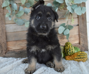 German Shepherd Dog Dog for Adoption in HONEY BROOK, Pennsylvania USA