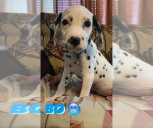 Dalmatian Puppy for sale in RALEIGH, NC, USA