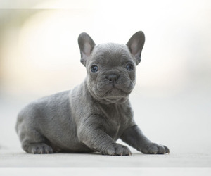French Bulldog Puppy for sale in LOX, FL, USA