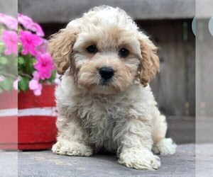 Cavapoo-Poodle (Toy) Mix Dog for Adoption in DRY RUN, Pennsylvania USA