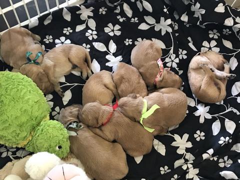 View Ad Golden Retriever Puppy For Sale Near Indiana Logansport Usa Adn 33967