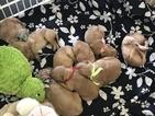 Golden Retriever Puppy For Sale in LOGANSPORT, IN, USA