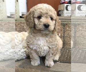 Goldendoodle (Miniature) Dog for Adoption in MENOMONIE, Wisconsin USA