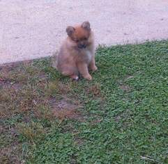 Pomeranian Puppy For Sale in OMAHA, NE