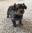 Yorkshire Terrier Puppy For Sale in MAPLETON, MN, USA