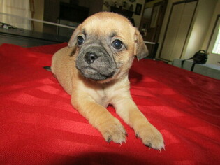 Pug Puppy for sale in HUDSON, MI, USA
