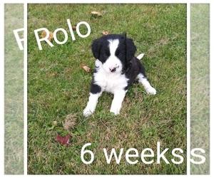Border-Aussie Puppy for sale in SPLIT ROCK, WI, USA