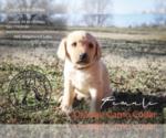 Puppy 11 Labrador Retriever