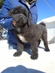 Tibetan Mastiff Puppy For Sale in GALVA, IL