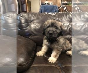 Catalan Sheepdog Puppy for sale in DRAPER, UT, USA