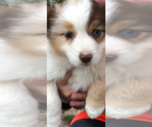 Miniature Australian Shepherd Puppy for sale in SAINT CLAIR, MO, USA