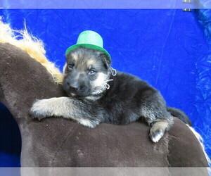 German Shepherd Dog Puppy for sale in HARTVILLE, MO, USA