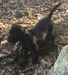Labrador Retriever Puppy For Sale in TYLER, TX, USA