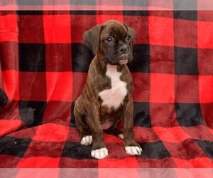 Boxer Puppy for sale in CHILHOWEE, MO, USA