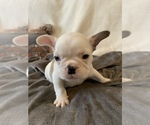 Small Photo #18 French Bulldog Puppy For Sale in JOHNS ISLAND, SC, USA