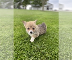 Pembroke Welsh Corgi Puppy for sale in SULLIVAN, IL, USA