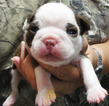 Boston Terrier Puppy For Sale in MULINO, OR, USA