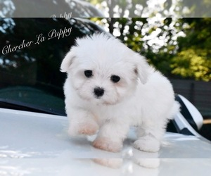 Maltese Dog for Adoption in MARYSVILLE, Washington USA