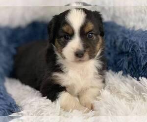 Australian Shepherd Puppy for Sale in GEORGETOWN, Texas USA