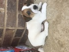 Jack Russell Terrier Puppy For Sale near 39332, Hickory, MS, USA
