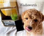 Puppy 5 Goldendoodle-Woodle Mix