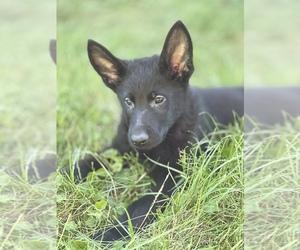 German Shepherd Dog Dog for Adoption in JEFFERSON, Oregon USA