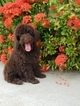 Poodle (Standard) Puppy For Sale in MIAMI, FL, USA