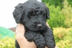 Goldendoodle Puppy For Sale in ANTIOCH, TN, USA