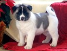 Akita Puppy For Sale in MOUNT JOY, PA, USA