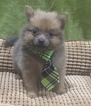 Pomeranian Puppy For Sale in BRANDON, MS, USA