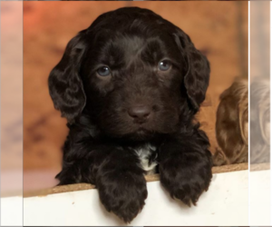 Labradoodle Puppy for Sale in WACO, Texas USA