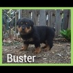 Rottweiler Puppy For Sale in LEBANON, PA