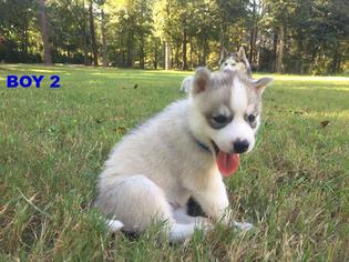 View Ad Siberian Husky Puppy For Sale South Carolina Barnwell Usa