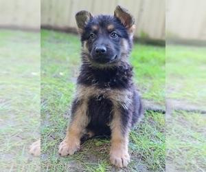 German Shepherd Dog Puppy for Sale in WARREN, Massachusetts USA