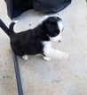 Border Collie Puppy For Sale in ATHENS, TN